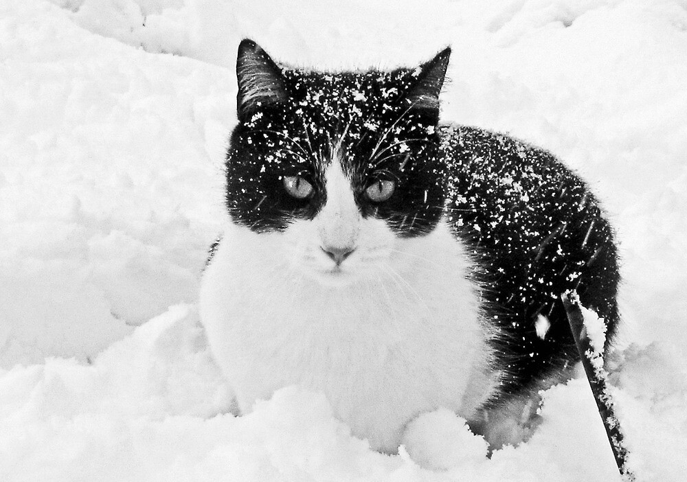 Snow Kitty Black & White by nikspix