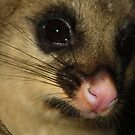 Possum's Pink Nose by aussiebushstick