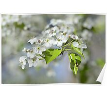 Washington Hawthorn Blooms with Hover Fly Poster