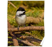 Brush Pile Chickadee Poster
