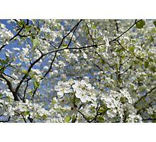 Washington Hawthorn Blooming in Arkansas Photographic Print