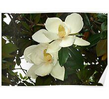 Magnolia blossom Poster