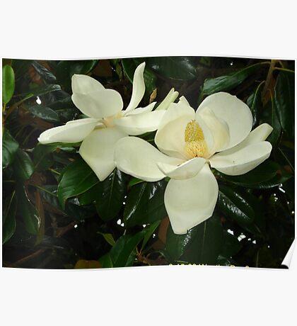 Magnolia blossom 2 Poster