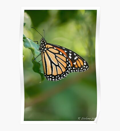 monarch butterfly 5 Poster