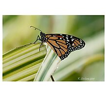 monarch butterfly 6 Photographic Print