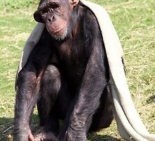 Chilled Chimp by Norma Jean Lipert