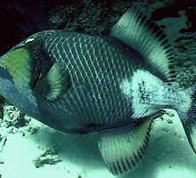 TRIGGER FISH  by springs