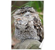 Frogmouth. Queensland, Australia. Poster