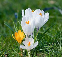 crocus  by torishaa