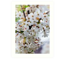 cherry blossom close-up  Art Print
