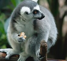 Leemur eating by bluetaipan