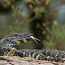 Lace Monitor by Lance Leopold