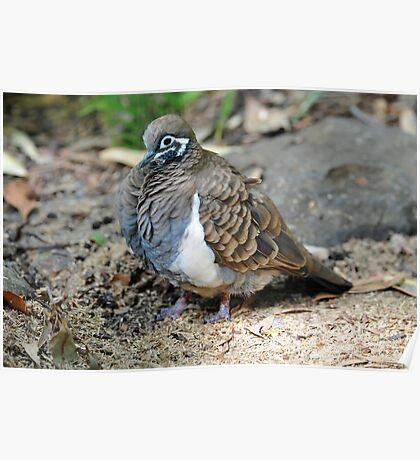 Squatter Pigeon. Queensland, Australia. (Endangered Species) Poster