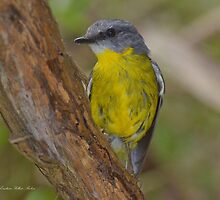 """ Eastern Yellow Breasted Robin ""    Marlo Vic. by helmutk"