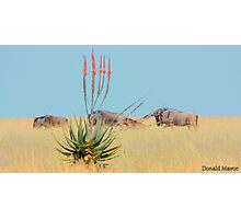 The Aloe and the Wilderbeeste Photographic Print