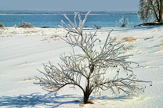 Icy Little Tree by Carolyn  Fletcher