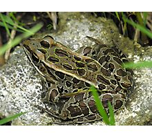 Leopard Frog Photographic Print