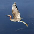 Little Blue Heron takes off by Jim Cumming