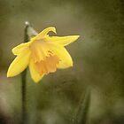 Daffodil by Nicholas Jermy