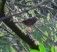Fox Sparrow by David Denny