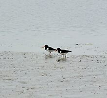 Oystercatchers by Vicki Spindler (VHS Photography)