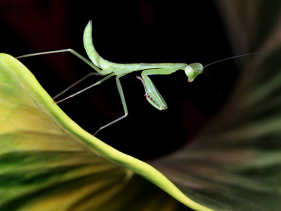 Mantis larva by jimmy hoffman
