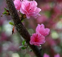 Blooms and Bokeh by Carolyn  Fletcher