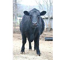 Pure Black Angus - Animal Photography Photographic Print