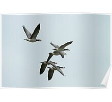 Barnicle Geese In Flight Poster