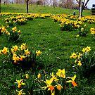 Daffodils - Mudchute Park  by rsangsterkelly