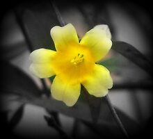 Carolina Jessamine by Lisa Taylor