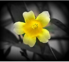 Carolina Jessamine Photographic Print