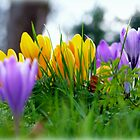 Crocus  by Morag Bates