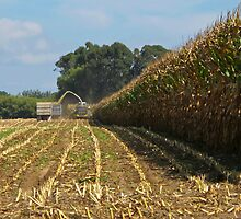 harvesting maize by Anne Scantlebury