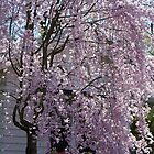 Weeping Cherry Tree by Ruth Lambert