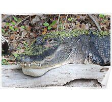 Hidden Gator Poster