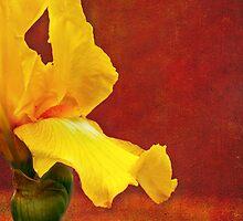 Flamenco Iris by Anita Pollak