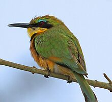 Little bee-eater by jozi1