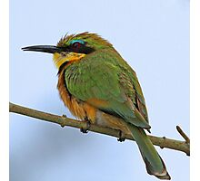 Little bee-eater Photographic Print