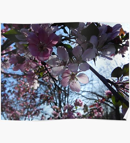 Peach Blossoms Pink Poster