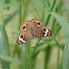 Buckeye Butterfly and Verbena 2 by Robert E. Alter / Reflections of Infinity, LLC