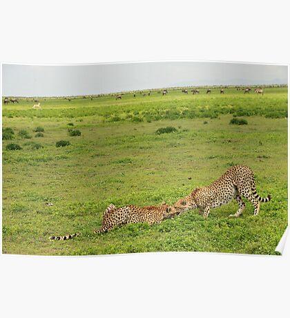 Cheetahs eating Poster