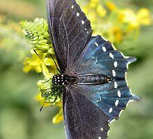 Pipevine Swallowtail Butterfly by Saija  Lehtonen