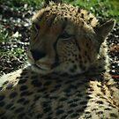 Cheetah by fab2can