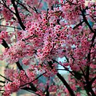 Cherry Blossoms by Cameron B