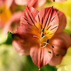 Peruvian Lily by Jose Vazquez