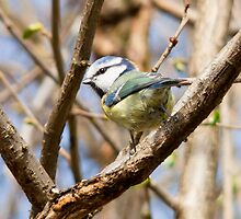 British Blue Tit by lmaiphotography