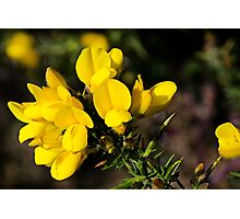 Yellow Gorse ~ Charmouth, Dorset Photographic Print