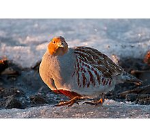 Gray Partridge Photographic Print