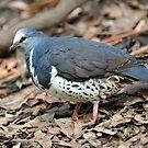 The Wonga Pigeon. Queensland, Australia. by Ralph de Zilva
